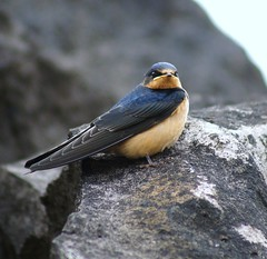 Barn Swallow (juvie) (linda long) Tags: nature birds wildlife barnswallows avian swallows