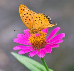 DSC_3210b (aeschylus18917) Tags: flower macro nature japan butterfly insect nikon lepidoptera 日本 花 gifu fritillary 105mm 蝶 チョウ argyreushyperbius gifuken 岐阜県 argynninae gifushi gifuprefecture d700 ダニエル nikond700 岐阜市 danielruyle aeschylus18917 danruyle druyle ルール ダニエルルール dupledit ツマグロヒョウもん