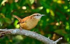 Carolina Wren (Thryothorus ludovicianus) (Steve Arena) Tags: bird wren carolinawren forthill cawr
