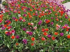 Dutch Tulips, Keukenhof Gardens, Holland - 0692 (HereIsTom) Tags: travel flowers flower holland nature netherlands dutch garden spring europe colours tulips sony cybershot olympus tulip bloom keukenhof webshots e500 f505