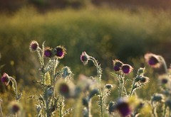 Silver amongst the Gold (janroles) Tags: dof thistles evening backlit flickr sunset nature light summer england silver gold canoneos400d