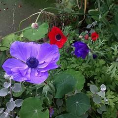 Anemones (vw4y) Tags: scarlet purple planters abundant greenery colourful anemones varied summery