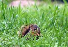 Cuteness Overload (Kaptured by Kala) Tags: sciurusniger foxsquirrel squirrel garlandtexas babysquirrel baby eating alone cute hiding grass