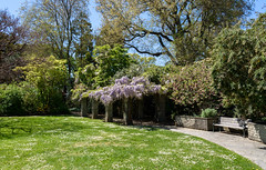 A Touch of Mauve (Jocey K) Tags: christchurch newzealand flower spring wisteria grass lawn daisy seats trees sky