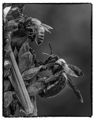 Bee_SAF1096-3 (sara97) Tags: bee copyright2016saraannefinke endangered flyinginsect insect missouri outdoors photobysaraannefinke pollinator saintlouis towergrovepark w blackandwhite blackwhite