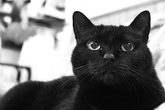Nanone (Anemic Amour) Tags: biancoenero monocromo animale gatto cat blackcat pantera panther blackandwhite eyes occhi chat noir