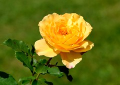 Rose (Cathrine1) Tags: niedersachsen rose yellow green grn nature natur gelb