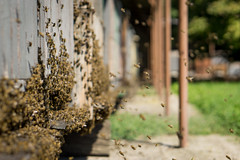 bee diligence (MattusB) Tags: green honey busy bee diligence work hard hive beehive making fly swarm sony mirrorless reportage documentary shot shooting prime lens a6000 sel50f18 50mm apsc slovakia slovakian homemade home made jarovce
