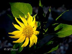 Sonnengru (Fotoamsel) Tags: blumen garten natur pflanzen sonnenblume sonnengrus imgarten goslar niedersachsen deutschland