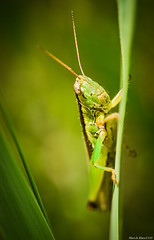/ Catantopidae (March Hare1145) Tags: insect locust