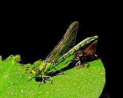 green dragonfly emergence (bbrightmanphotography) Tags: dragonfly green wings insect larvae lilypad pond black brown bugs stagesoflife lifecycle bbrightmanphotography