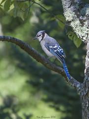 bluejay (shrill voice of the woods) (wandering tattler) Tags: bird corvid bluejay jay newhampshire 2016
