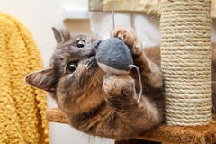 Muffin at play (socreative) Tags: cat play mouse predator kitty kitten pets pet cute cuteness beauty eyes kitteh catlover catlovers lover lovers bite