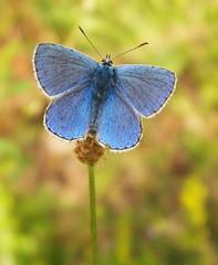 101_2102 (Cassiopée2010) Tags: cévennes nature argusbleu