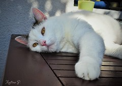 I'm so terribly bored.... (martinap.1) Tags: katze cat outdoor white table brown tisch nikon d3300 pet