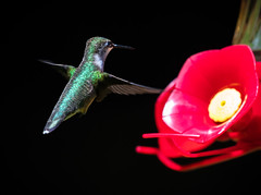 Ruby-Throated Hummingbird (Rodrigo Montalvo Photography) Tags: rubythroatedhummingbird hummingbird bird birds birdspotting birdphotography birding birdwatching nikon nikond500 nikon200500mmf56 wildlife wildlifephotography nature naturephotography rodrigomontalvo newtown newtownconnecticut