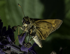Butterfly_SAF6830 (sara97) Tags: copyright2016saraannefinke nature outdoors photobysaraannefinke saintlouismissouri towergerovepark butterfly pollinator insect flyinginsect