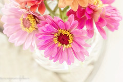 Summer Remnants (Denise @ New Mercies I See) Tags: 2016 autumn ohio zinnia flowers stilllife foraging color pink home mogadore onethousandgifts lovely summitcounty garden