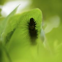 (toltequita) Tags: gusano azotador burner quemador oruga insect insecto