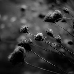 Summer Wildflowers 028 (noahbw) Tags: d5000 dof middleforksavanna nikon abstract blackwhite blackandwhite blur bw depthoffield flowers light marshland monochrome natural noahbw prairie shadow square summer wetlands
