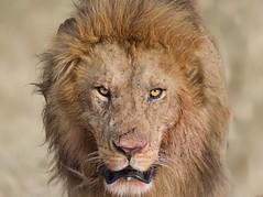 Lion with Fresh Cut on His Nose (Kitty Kono) Tags: lion male kittyrileykono masaimara kenya safari