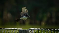 Landing gear down...... (Beckett_1066) Tags: birdsinyard birds willie wagtail pee wee