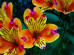Alstroemeria (E&T - Photography) Tags: sony dsc cybershot hx90 alstroemeriaceae alstroemeria peruvian lily incas color red orange yellow flower plant macro closeup transition