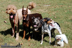 Group Stand Stay (samd517) Tags: leash free living bourbon rugby doberman pinscher maltese australian cattle dog pit bull catahoula labradoodle stand stay