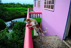 ,, DJ Talken 2 the Monkeys ,, (Jon in Thailand) Tags: dj thedogpalace dog k9 jungle swamp nikon d300 nikkor 175528 red green blue purple barking tail ears trees littledoglaughedstories