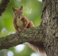 On the branch (hedera.baltica) Tags: squirrel redsquirrel eurasianredsquirrel wiewirka wiewirkapospolita sciurusvulgaris