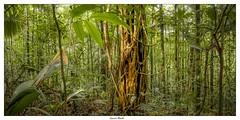 Figuier trangleur (Laurent Asselin) Tags: arbre tree figuier trangleur fort guyane