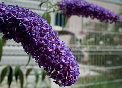 Restaurant pour abeilles violettes (ziayette) Tags: fleurs violet bokeh nature couleurs