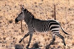 J10. Zbre de montagne de Hartmann (Darth Jipsu) Tags: namibie na namibia afrique africa safari voyage travel equus zebra hartmannae zbre de montagne hartmann hartmanns mountain mammal mammifre