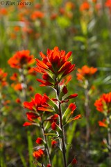 Painted Cup (Castilleja coccinea) (Kim Toews Photography) Tags: indianpaintbrush castillejacoccinea paintedcup red ontario brucecounty brucepeninsula outdoor nature blooms flower plant foliage dof depthoffield