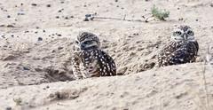 Burrowing Owl Chicks (Athene cunicularia); Los Lunas, NM [Lou Feltz] (deserttoad) Tags: nature newmexico bird wildbird wildlife raptor owl desert behavior migration