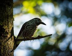 Tannenhher (Nucifraga caryocatactes) (Nature_77) Tags: vogel aves tannenhher singvogel rabenvogel corvidae nussknacker nucifraga passeres passeriformes