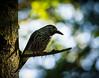 Tannenhäher (Nucifraga caryocatactes) (Nature_77) Tags: vogel aves tannenhäher singvogel rabenvogel corvidae nussknacker nucifraga passeres passeriformes