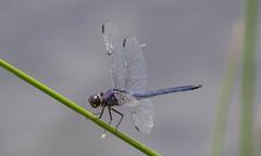 7K8A6806 (rpealit) Tags: scenery wildlife nature whitesbog slaty skimmer dragonfly
