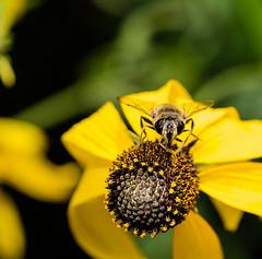pollen tank up (Danyel B. Photography) Tags: insect insekt nature natur macro makro close nah details dof sharp bokeh outside flowers pollen blossom blte blume
