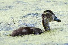 Aug 30 201610749 (Lake Worth) Tags: animal animals bird birdwatcher birds canonef500mmf4lisiiusm canoneos1dxmarkii everglades feathers florida nature outdoor southflorida waterbirds wetlands wildlife wing