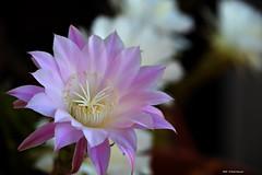 ER 160901 (2) (Paolo Bonassin) Tags: flowers cactaceae cactacee cactus succulente echinopsis