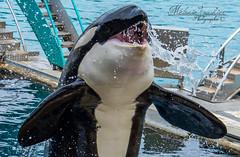 Portrait de valou (orcamel30) Tags: orque orca valentin epaulard nikon 55300alien marineland biot antibes soigneur spectacl shows cetace