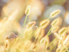 Hidden Magics (roseinthedark) Tags: butterfly light primotar vintagelens vintage bokeh bubbles bug golden hour colours colorful
