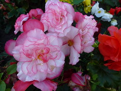 Red and White Begonias ! (Mara 1) Tags: summer flowers plants red white begonias outdoors bloom head green leaves