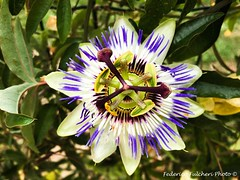 Passiflora Edulis (Federico Fulcheri Photo) Tags: summer tropical season park beautiful color ootdoor garden natura flower passiflora apple iphone6splus iphone