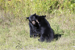 Playing (Seventh day photography.ca) Tags: blackbear bear animal wildanimal wildlife predator mammal ontario canada summer cub young playing