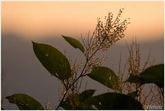 Warmed by sunlight (HP016043) (Hetwie) Tags: flower natuur workshop sunset zonsondergang plant bloemen auvergne nature hauteloire frankrijk