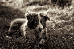 Puppy with Bokeh #3 (asheers) Tags: bordercollie collie puppy pup young cute light bokeh morning mono monochrome silverefex sepia tongue eyes