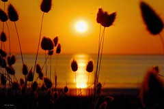 Lagure queue-de-lièvre (III) (jpto_55) Tags: lagurusovatus lagure lagurequeuedelièvre soleil soleilcouchant paysage notredamedemonts ocean oceanatlantique xe1 fuji fujifilm fujixf55200mmf3548rlmois vendée france