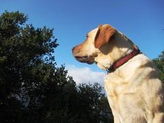 7915342022 dc0471702d m Hercules, Photos of my fun Yellow Labrador